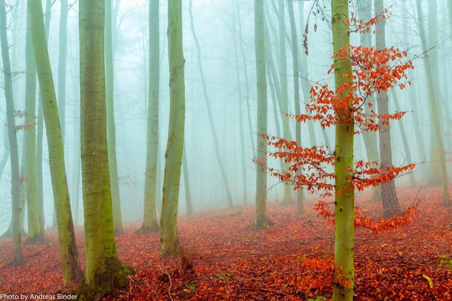 Nebel im Buchenwald. Foto: Andreas Binder