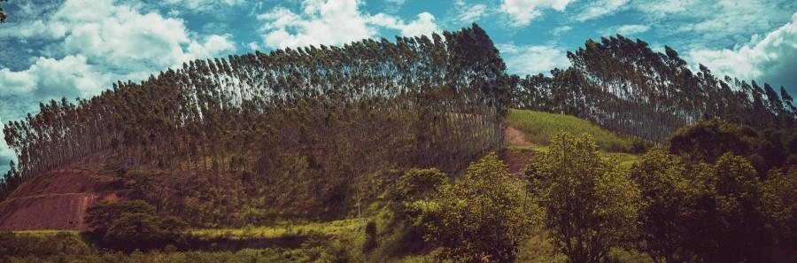 Eucalyptus. Foto: Vitor Machado.Todos los derechos reservados.