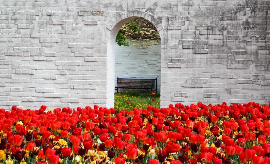 Tulips. Gerhard Gellinger . CC0 Public Domain.