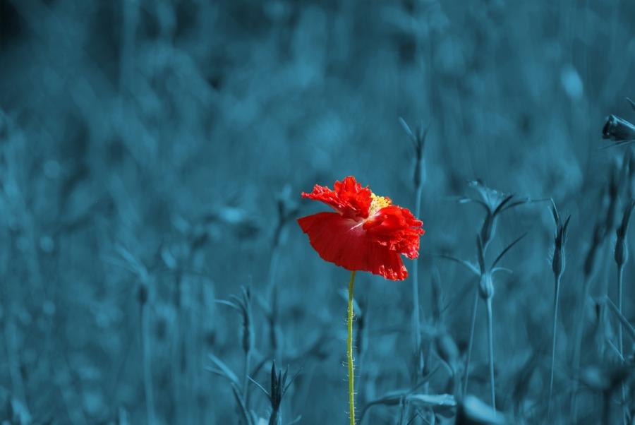 Poppy. Foto: Heike Frohnhoff . CC0 Public Domain.