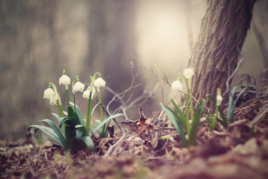 Spring snowflake. Foto: Martina Aubrechtová. CC0 Public Domain