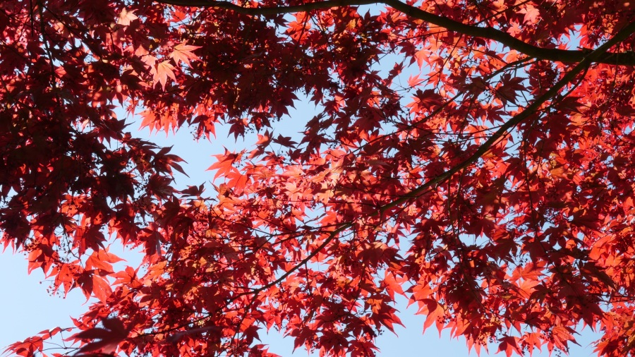 Red Maple. Foto: Florian Jung. CC0 Public Domain.