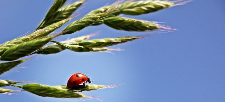 Ladybug. Foto: Silvia & Frank. CC0 Public Domain-