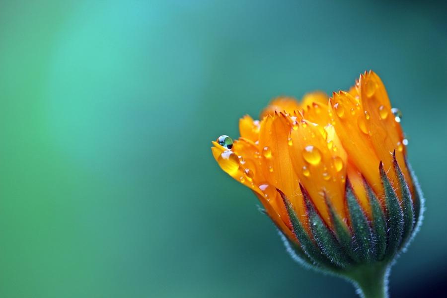 Marigold. Foto: Myriams-Fotos. CC0 Public Domain.