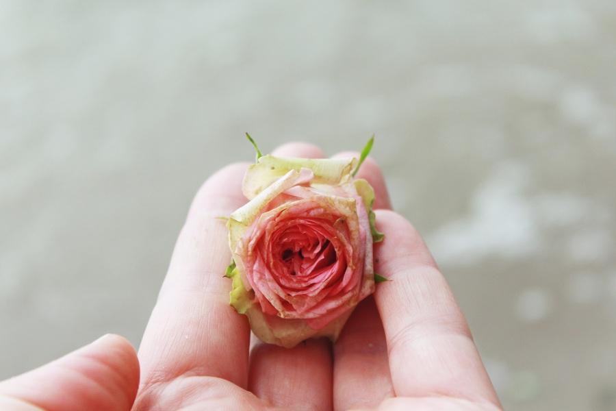Rose. TanteTati.  CC0 Public Domain.
