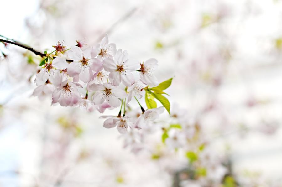 Cherry blossom. Foto: Unsplash. CC0 Public Domain.